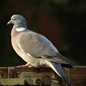 Dove, perie, vták, ringdove, pierko, stojace, mesto holub