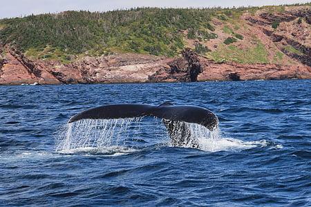 кит, Горбатий, Ссавці, baybulls, Ньюфаундленд, Fluke, одна тварина