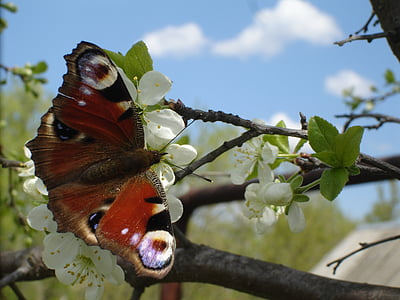 papallona, primavera, natura, insecte, papallona - insecte, animal