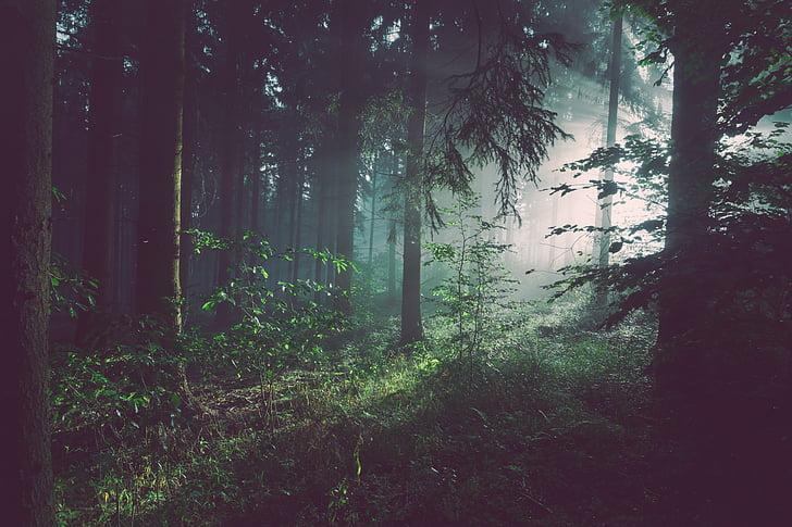 boira, boira, bosc, arbres, fullatge, boscos, bonica