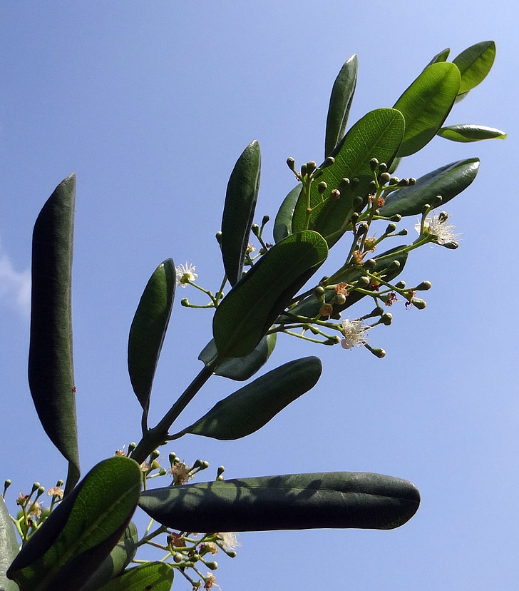 Jamaica pipar, pipar, Spice, lilled, kaunad, seedpods, Myrtle pipar