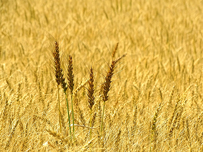 wheat, spike, wheat field, cereals