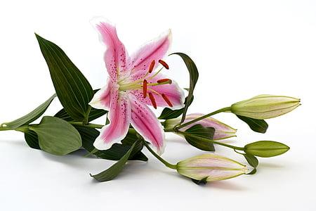 Lily, kvet, kvet, kvet, ružová, biela, Zelená
