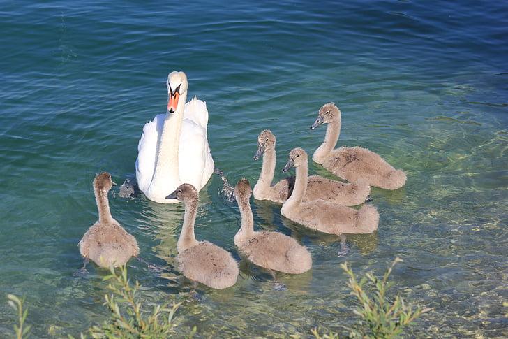 лебеди, лебед, езеро, животински свят, вода птица, птица, вода