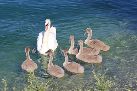 swans, swan, lake, animal world, water bird, bird, water