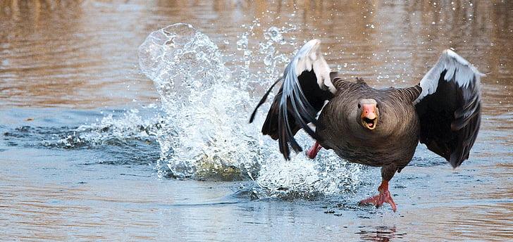 Σταχτόχηνα, χήνα, WA, νερό πουλί, νερό, σε εξωτερικούς χώρους, ένα άτομο