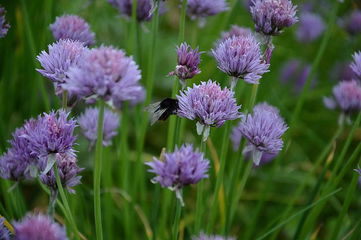vlasac, vlasac cvijet, hrana, Hummel, kukac, bilje, biljka