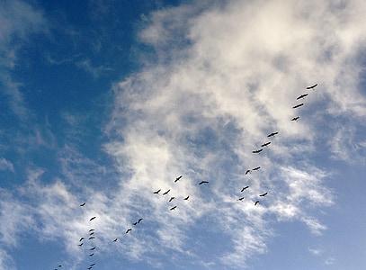 burung, Angsa Kanada, Angsa, Dash, langit, Himmel, awan