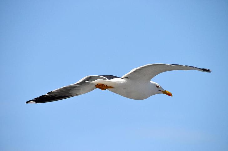 lintu, Lake, lokki, eläinten, lentää, Sea bird, hiekkaranta
