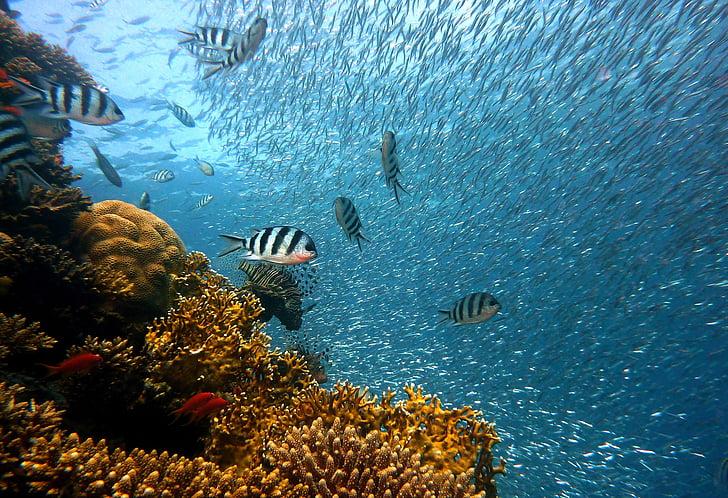 kala, veealuse, Sukeldumine, vee, veealune maailm, Sea, Coral