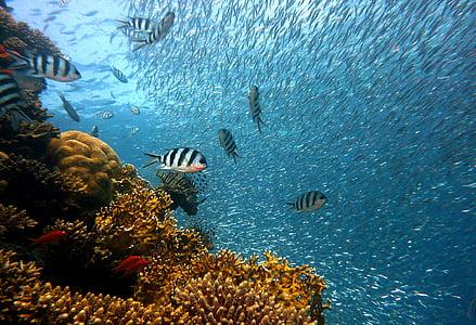 zivis, zemūdens, Daivings, ūdens, zemūdens pasaule, jūra, koraļļu