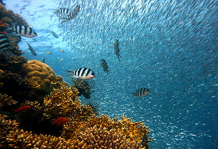 риба, подводни, Гмуркане, вода, подводен свят, море, Корал
