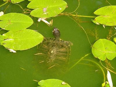 vode želva, želva, vode
