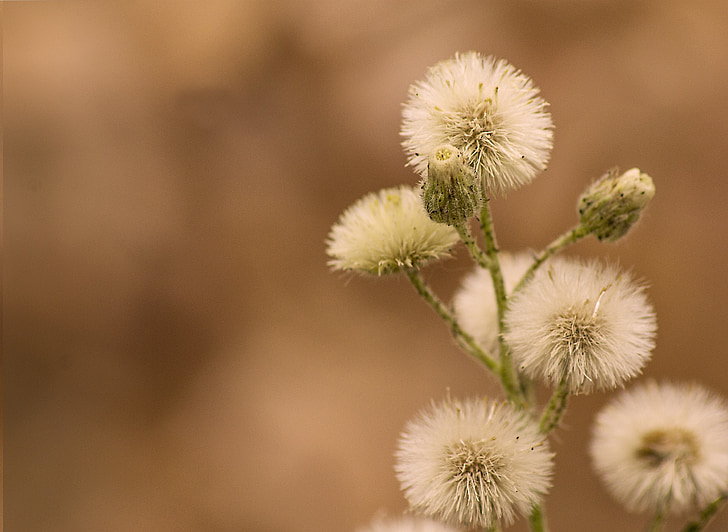 balta, gėlės, fono, sodas, Gamta, sausas, piktžolių