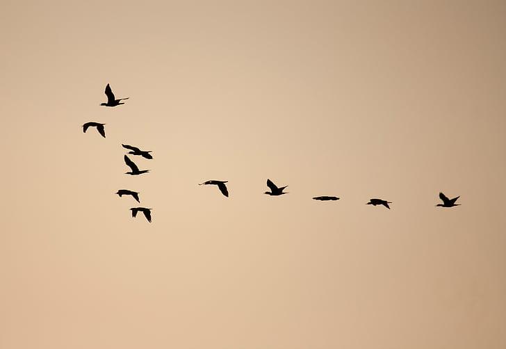 птици, образуване, стадо, стичат, плаващи, Dom, миграция