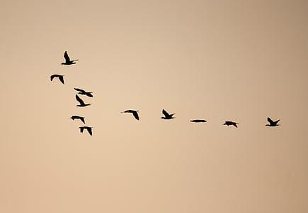 ptaki, formacji, stado, uciekają, pływające, Dom, migracji