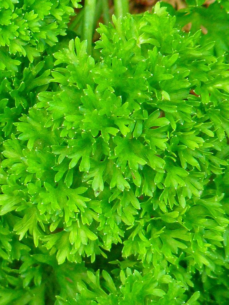 julivert, verd, espècies, jardí d'herbes, herbes, beterli, federsielli