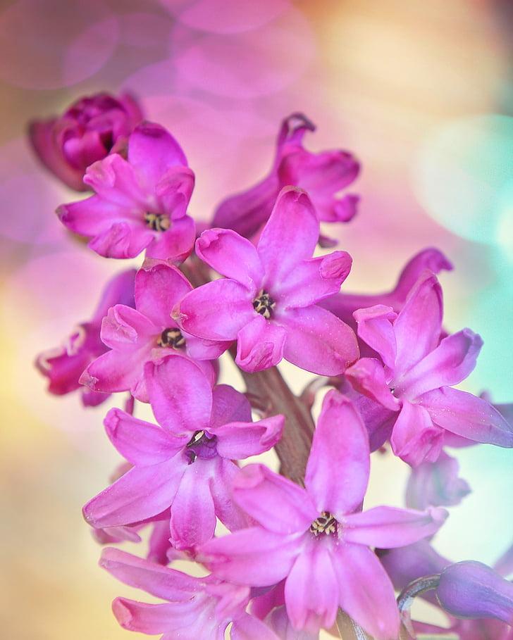 eceng gondok, bunga, bunga, tanaman, bunga musim semi, merah muda, wangi
