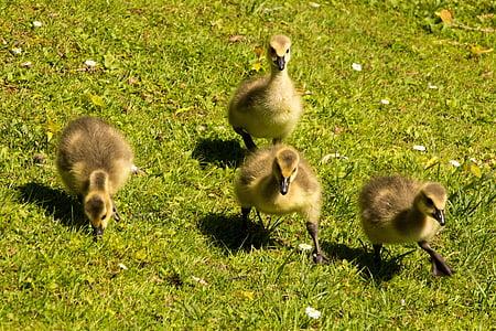 Poikaset, Poikaset, Kanadan hanhet, hanhi, lintu, Luonto, nuori lintu