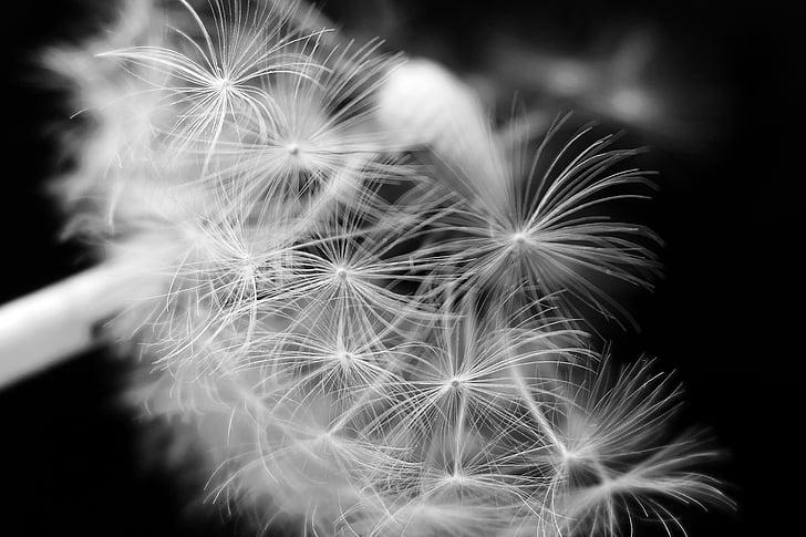 Löwenzahn, Löwenzahn Blume, Regenschirm, Blüte, Bloom, Samen, Löwenzahnsamen