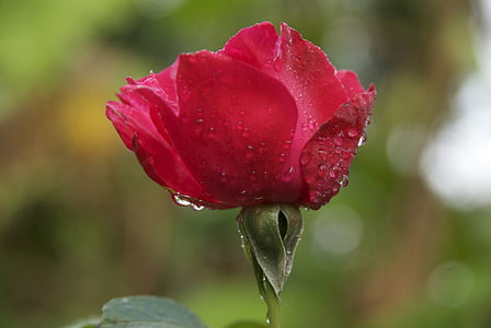 pink, dew, morning dew, madagascar, flower, red, red roses