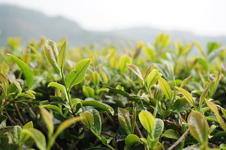 čaj, scenérie, prírodné, tmavozelená, rast