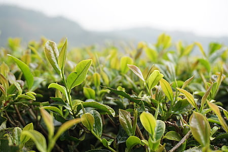 tea, the scenery, natural, green leaf, growth
