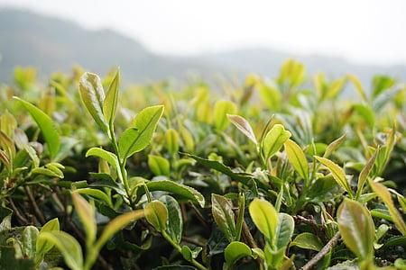 thee, het landschap, natuurlijke, groene blad, groei