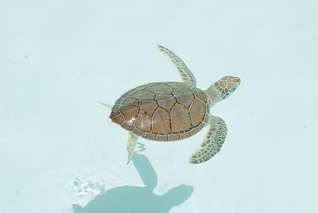 želva, Xcaret, Karibi, živali, plazilcev, narave, prosto živeče živali