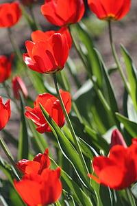 tulbid, Tulip, lill, kevadel, loodus, punane, Aed lill