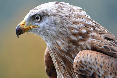 eläinten, lintuinfluenssan, lintu, petolintu, Lähikuva, Eagle, Falcon