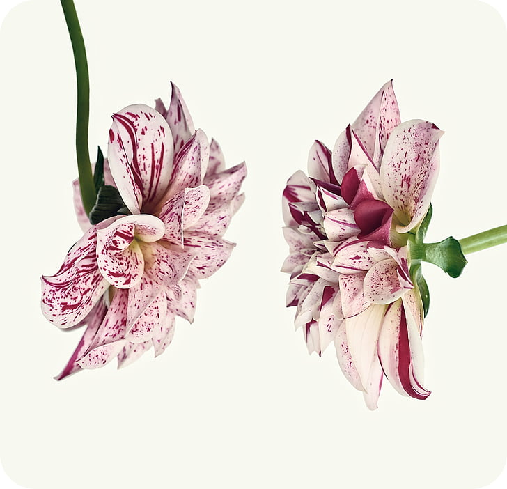 dàlia, vermell blanc, flor, flor, flor