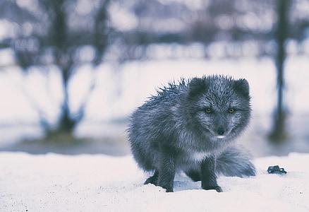 iceland, fox, gray, grey, animal, arctic, winter