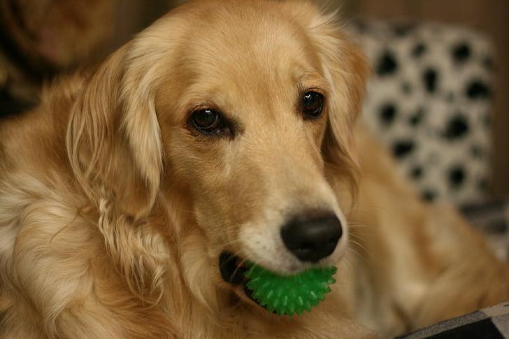 dog, gold liè dogs, pet, dogs