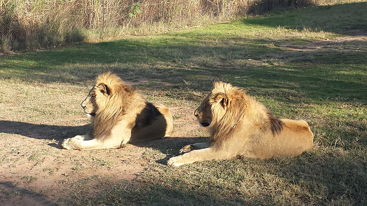 lions, south africa, wildlife, africa, nature, south