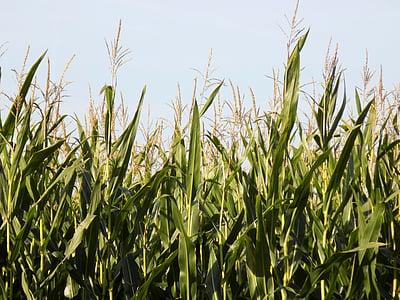camp, blat de moro, tuds, aliments, l'agricultura