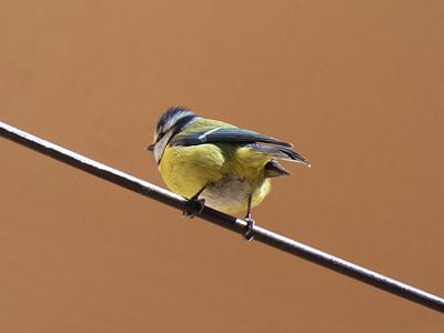 птица, Галено обръщение към жена, кабел, mallarenga въглища, Parus големи