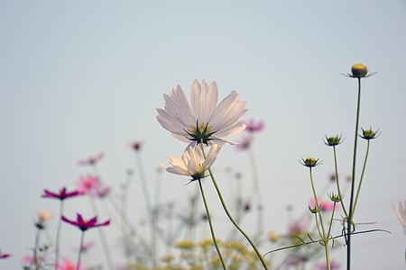 cosmea, flower, plant, cosmos, summer, nature, dacha
