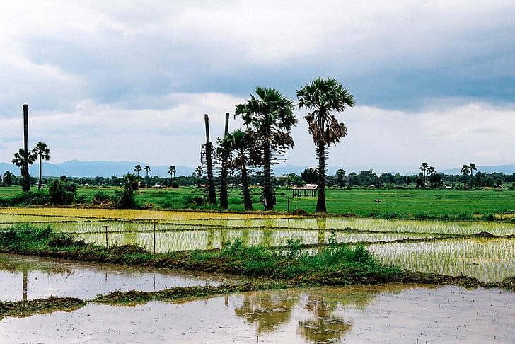 cornfield, Vole, cây, Thiên nhiên, màu xanh lá cây, Thiên nhiên, địa điểm du lịch