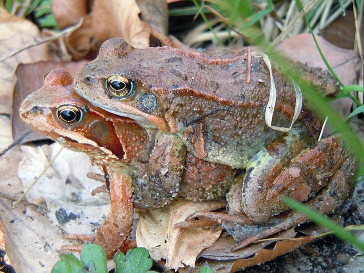 Toad siirron, Sammakot, Luonto, sammakkoeläimet