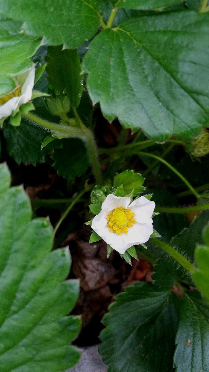 aardbei, Strawberry flower, Chandler aardbei