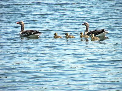 ครอบครัวเป็ด, สัตว์, grossensee, เป็ด, นก, ขนนก, stormarner สวิตเซอร์แลนด์