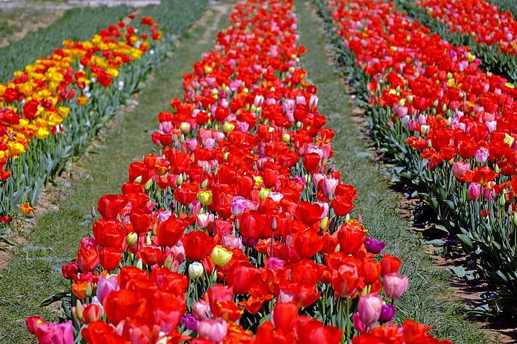 tulipes, colors, flors, color, flor, molts, primavera