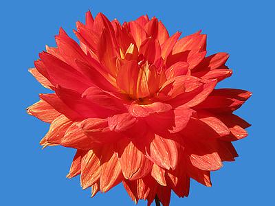 dàlia, flors, vermell, aïllats, brillant, flor