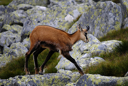 Chamois, núi Tatra, vùng High tatras, động vật, Tatra chamois, Thiên nhiên, động vật hoang dã