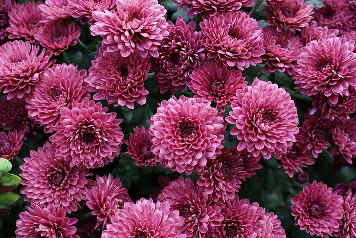 хризантеми, квітка, рожевий, цвітіння, сад, сезонний