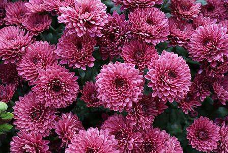 krüsanteemid, lill, roosa, õis, Aed, hooajaline