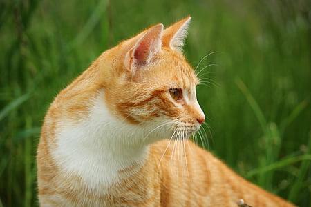cat, kitten, mieze, red mackerel tabby, red cat, mackerel, grass