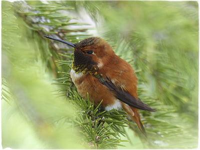 Allens Kolibri, Kolibri, Colibri, selasphorus sasin, mies, riistalintujen, värikäs