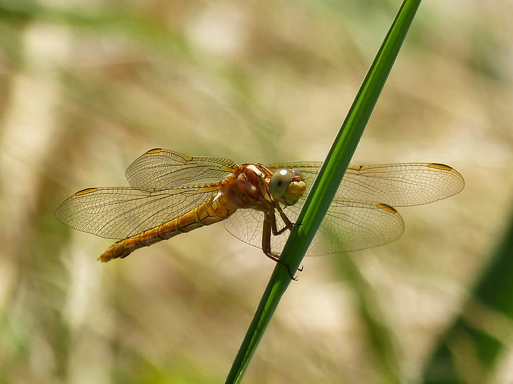 spāre, zelta spāres, Sympetrum fonscolombii, Leaf, ūdens vide, mitrāju, skaistumu